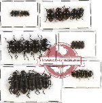 Scientific lot no. 137 Tenebrionidae (30 pcs A-, A2)