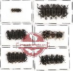 Scientific lot no. 133 Tenebrionidae (30 pcs)