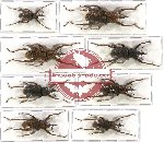Scientific lot no. 184 Curculionidae (8 pcs)