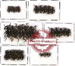 Scientific lot no. 134 Tenebrionidae (35 pcs)