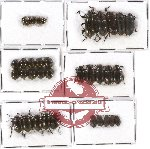 Scientific lot no. 130 Tenebrionidae (35 pcs)