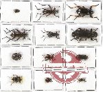 Scientific lot no. 141 Tenebrionidae (12 pcs - 2 pcs A2)