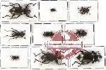 Scientific lot no. 139 Tenebrionidae (9 pcs - 2 pcs A2)