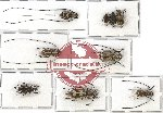 Scientific lot no. 32 Anthribidae (7 pcs)
