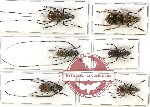 Scientific lot no. 34 Anthribidae (6 pcs)