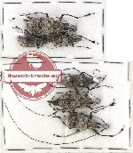 Scientific lot no. 43 Anhribidae (Acanthothorax gazella guttatus) (6 pcs)