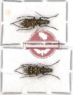 Scientific lot no. 54 Anthribidae (Mecotropis maculosa) (2 pcs)