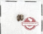 Scientific lot no. 40 Anthribidae (Exechesops wollastoni) (2 pcs)