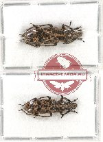 Scientific lot no. 56 Anthribidae (Phloeopemon continentale) (2 pcs)