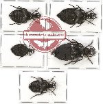 Scientific lot no. 27 Meloidae (Meloe spp.) (5 pcs)