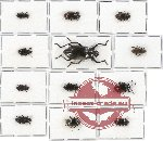 Scientific lot no. 131A Tenebrionidae (12 pcs)
