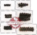 Scientific lot no. 130A Tenebrionidae (46 pcs)