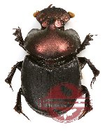Onthophagus sp. 15