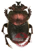 Onthophagus sp. 14