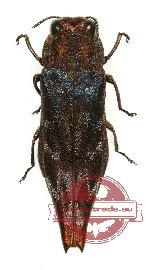 Agrilus sp. 36A (4 pcs A2)