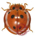Coccinelidae sp. 3 (A2)