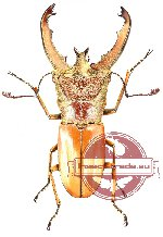 Cyclomatus lunifer (10 pcs)
