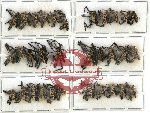 Scientific lot no. 201 Curculionidae (33 pcs)