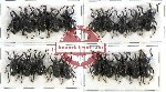 Scientific lot no. 203 Curculionidae (20 pcs)