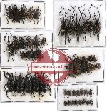 Scientific lot no. 202 Curculionidae (51 pcs)