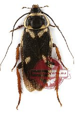 Blattodea sp. 21 (10 pcs A-)