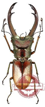 Cyclomatus truncatus (RED)