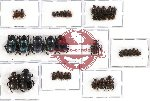 Scientific lot no. 294 Coprophaga (Onthophagus spp.) (38 pcs A, A-, A2)