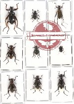 Scientific lot no. 150 Tenebrionidae (9 pcs)