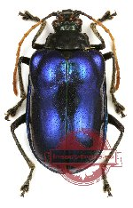 Chrysomelidae sp. 45 (10 pcs)
