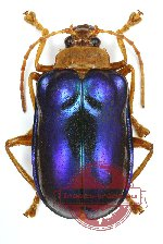 Chrysomelidae sp. 44