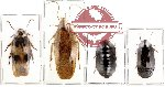 Scientific lot no. 3 Blattodea (4 pcs)