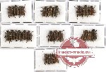 Scientific lot no. 44 Rutelinae (Adoretini spp.) (23 pcs A, A-, A2)