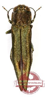 Agrilus sp. 37 (3 pcs A2)
