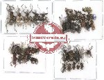Scientific lot no. 2 Curculionidae (51 pcs)