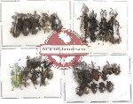 Scientific lot no. 3 Curculionidae (35 pcs)