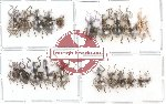 Scientific lot no. 4 Curculionidae (21 pcs)