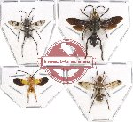 Scientific lot no. 80 Hymenoptera (4 pcs)