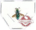 Scientific lot no. 78 Hymenoptera (Chrysididae) (1 pc A2)