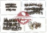 Scientific lot no. 17 Curculionidae (95 pcs)