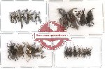 Scientific lot no. 18 Curculionidae (20 pcs)