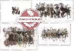 Scientific lot no. 24 Curculionidae (40 pcs)