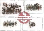 Scientific lot no. 25 Curculionidae (37 pcs)