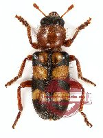 Cleridae sp. 1 (5 pcs A-, A2)