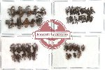 Scientific lot no. 27 Curculionidae (49 pcs)