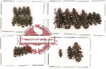 Helotidae Scientific lot no. 10 (25 pcs)
