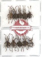 Scientific lot no. 29 Curculionidae (10 pcs)