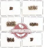 Scientific lot no. 228 Curculionidae (32 pcs)