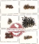 Scientific lot no. 227 Curculionidae (35 pcs)
