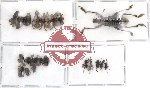 Scientific lot no. 31 Curculionidae (18 pcs)