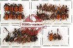 Scientific lot no. 17 Attelabidae (40 pcs - 17 pcs A2)